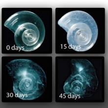 Sea Butterfly (pteropod) Shell Placed in Seawater with Increased Acidity Slowly Dissolves over 45 days